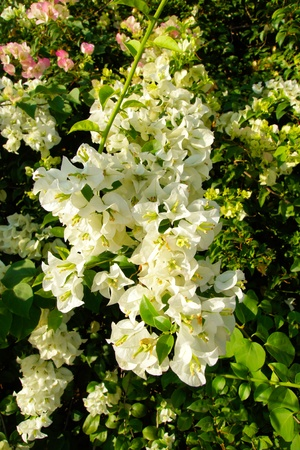 Thai White Bougainvilleas photo