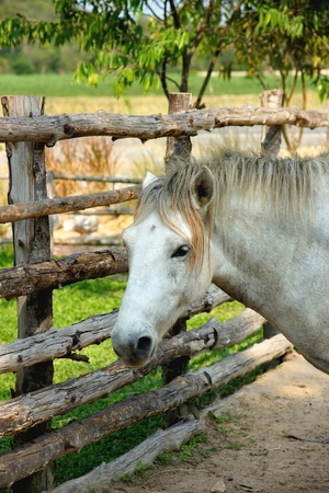 lipizzan horse: white Horse in farm