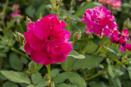 rose garden flower