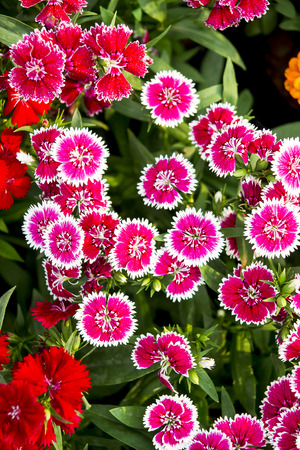 coloful: red and pink coloful flower