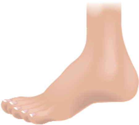 Body parts foot. An illustration of a human foot, no meshes used