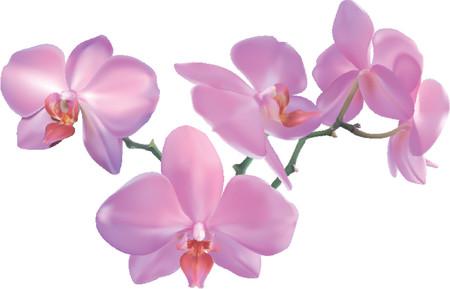 美しい蘭の花。美しい胡蝶蘭の写実的な実例。メッシュで作成されます。