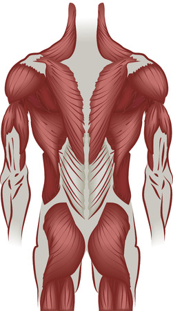 An illustration of the muscles of the human back