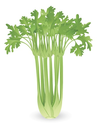 Illustration of a bunch of fresh tasty celery