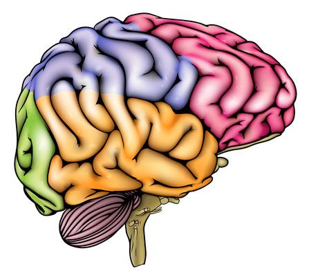 Een illustratie of anatomie diagram van een anatomisch correcte menselijk brein met verschillende secties in verschillende kleuren