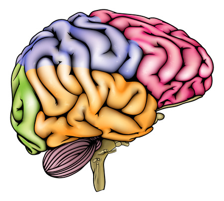 An illustration or anatomy diagram of an anatomically correct human brain with different sections in different colors