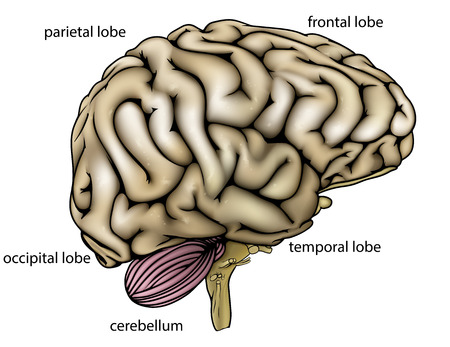 Brain anatomy diagram with sectioned in different colours and named 32709981 an illustration or anatomy diagram of an anatomically correct human brain from the side with different sections labelled ccuart Images