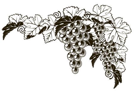 An original illustration of a grapes on a grape vine design element in a vintage style Vetores