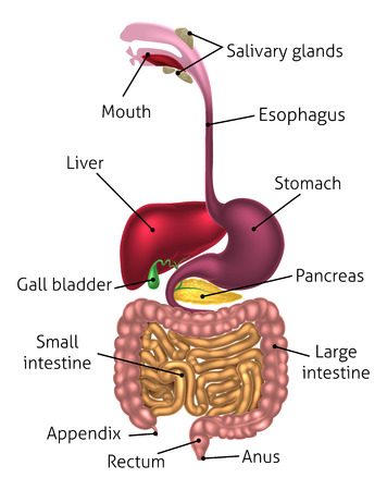 Human digestive system, digestive tract or alimentary canal including labels with US spellings