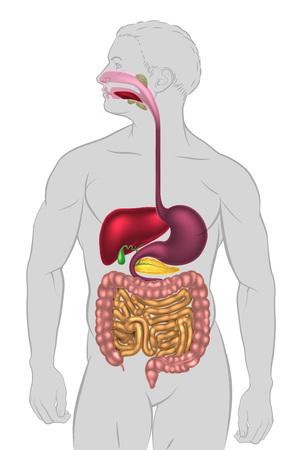 Een illustratie van het menselijke spijsverteringsstelsel, spijsverteringskanaal of spijsverteringskanaal