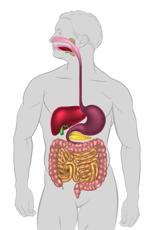 An illustration of the human digestive system, digestive tract or alimentary canal