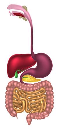 Système digestif humain, tube digestif ou tube digestif, y compris la bouche avec des glandes salivaires
