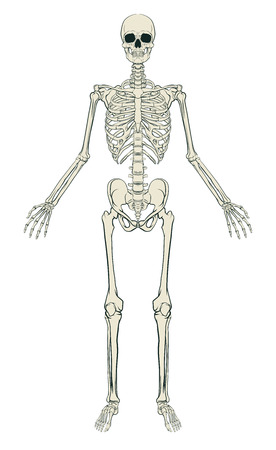 An anatomically correct medical educational illustration of a human skeleton 免版税图像 - 51305354