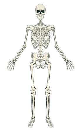 Anatomicznie poprawny medycznych ilustracji edukacyjny ludzkiego szkieletu