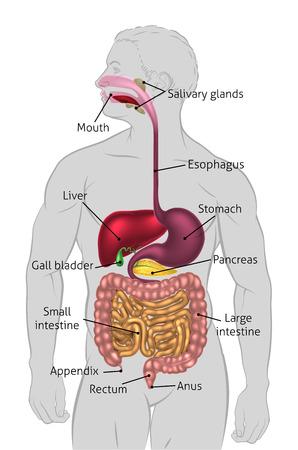Le système digestif humain, tube digestif ou tube digestif avec des étiquettes. Etiqueté US orthographes (ie oesophage) Vecteurs