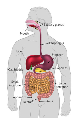 The human digestive system, digestive tract or alimentary canal with labels. Labelled with US spellings (i.e. Esophagus) Illustration