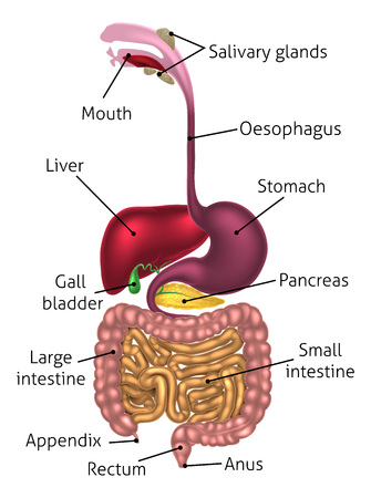 Human digestive system, digestive tract or alimentary canal including text labels Vectores