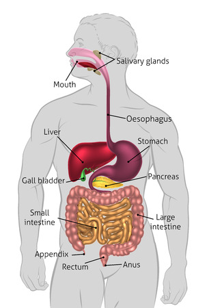 The human digestive system, digestive tract or alimentary canal with labels. Labelled with UK spellings and labels like those in the GCSE syllabus Stock Illustratie