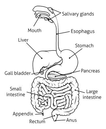 sistema digestivo humano, tracto digestivo o tubo digestivo con etiquetas ilustración en blanco y negro Ilustración de vector