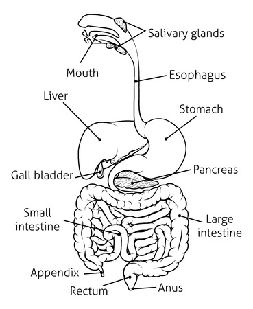 Human digestive system, digestive tract or alimentary canal with labels black and white illustration