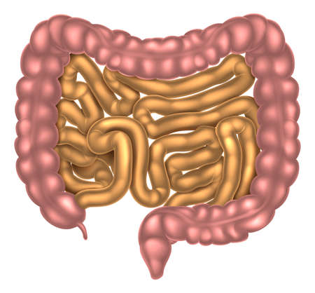 An illustration of the small and large intestines part of the digestive system Imagens - 68816660