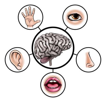 Un ejemplo de la enseñanza de las ciencias de iconos que representan los cinco sentidos unido al cerebro central Ilustración de vector