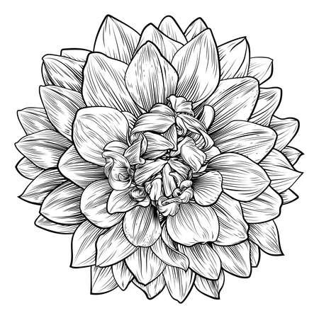 Dahlia or Chrysanthemum Flower Woodcut Etching. Ilustracja