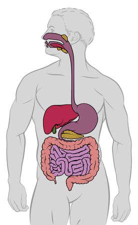 Un diagrama del tracto gastrointestinal del intestino del sistema digestivo de la anatomía humana