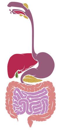 Anatomie humaine, illustration vectorielle du tractus gastro-intestinal