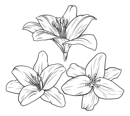 Lily Flower Illustration