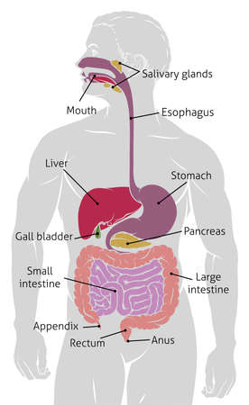 Human gut digestive system gastrointestinal tract.