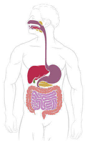 Digestive System Gastrointestinal Tract Diagram Stock Photo