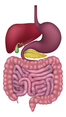 Medical anatomy illustration of  human gastrointestinal digestive system including intestines or gut