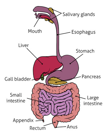 Human digestive system gut gastrointestinal tract anatomy diagram