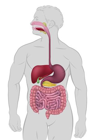 Gastrointestinal Human Digestive System