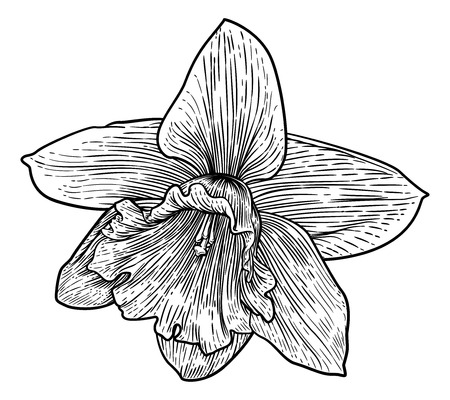 Daffodil Flower In Woodcut Etching Style Illustration