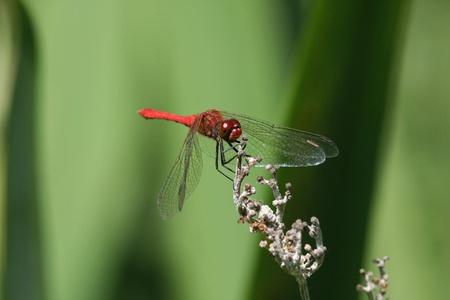 sympetrum: adult male ruddy darter dragonfly Sympetrum sanguineum