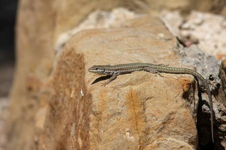 lazarus: wall lizard Podarcis muralis