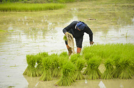 Asian farmer was soaked with water and mud to be prepared seedling of rice to planting, moving. Stock Photo