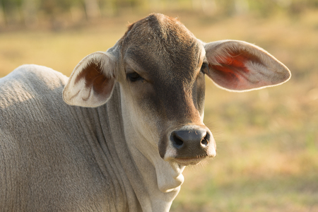creamery: Close up of head of young cow on agriculture field Stock Photo