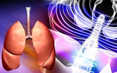 gullet: Columna vertebral y los pulmones humanos