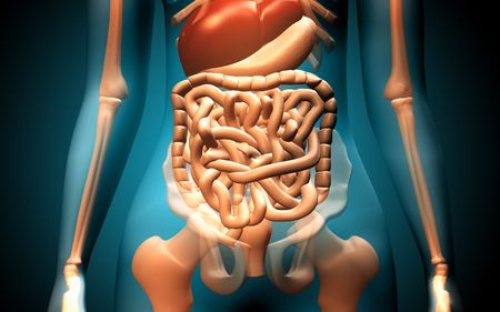 Digital illustration of human digestive system   illustration