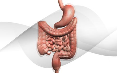 Digital illustration of human digestive system in isolated background  illustration