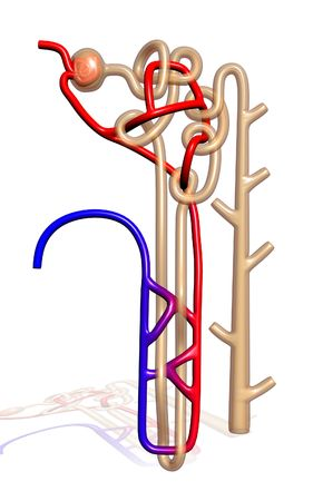 Digital illustration of  nephron   in  isolated  background