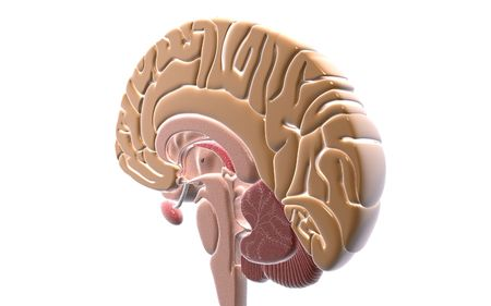 oblongata: Digital illustration of  brain in isolated  background