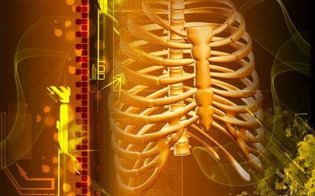 rib: Digital illustration of  rib cage  in colour  background