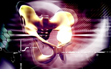 Digital illustration  of pelvic girdle in    colour background   Stock Illustration - 8264303