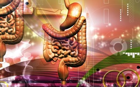 digestive system: Ilustraci�n digital del sistema digestivo humano en fondo de color