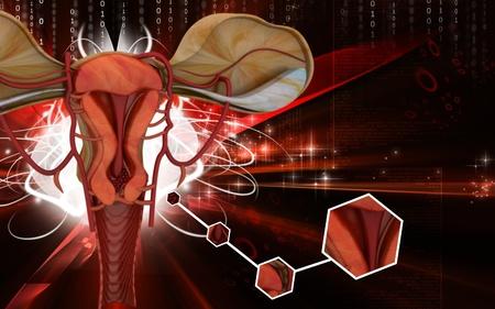 endometrial: Ilustraci�n digital de �tero en fondo de color  Foto de archivo