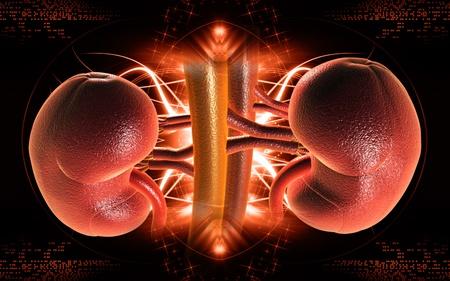 Digitální ilustrace ledvin v barvě pozadí